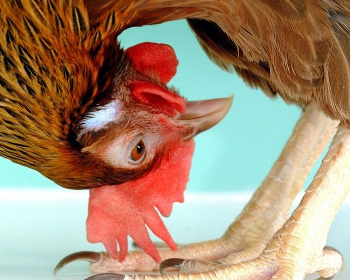 Génszerkesztett tyúk tojásában állítanak elő gyógyszerhatóanyagot