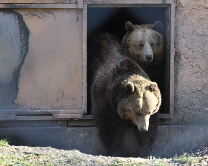 Előbújtak a medvék a Szegedi Vadasparkban